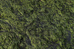 Closeup of a natural green pattern and texture of sea grass on a stone. Closeup of a natural green pattern and texture of sea grass Royalty Free Stock Image