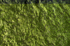 Closeup of a natural green pattern and texture of sea grass on a stone. Closeup of a natural green pattern and texture of sea grass Stock Images