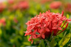 Red ixora spike flower in the garden. The name in Thai is Kheme. Thai people believe this is a fate flower. Closeup natural view of red flowers with copy space Stock Images