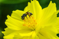 Closeup of nature bee and yellow flower Royalty Free Stock Image