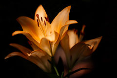 Closeup nature  orange lilly flower Royalty Free Stock Photography