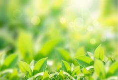 Closeup nature view of green leaf on blurred greenery background in garden with copy space using as background. Natural green plants landscape, ecology, fresh stock photo