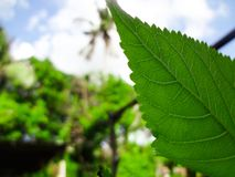 Closeup nature view of green leaf on blurred greenery background in garden with copy space using as background natural green royalty free stock images