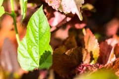 Closeup nature view of green leaf texture on red leaf blurred Royalty Free Stock Photo