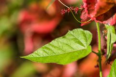 Closeup nature view of green leaf texture on red leaf blurred Royalty Free Stock Photography