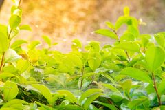 Closeup nature view of green leaf under sunshine in garden at su. Mmer under sunlight. Natural green plants landscape using as a background or wallpaper Royalty Free Stock Photos