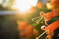 Closeup nature view of orange flower on sunset. Used for background or wallpaper Royalty Free Stock Photography