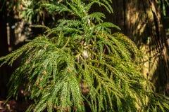 Japanese Cedar Royalty Free Stock Photography