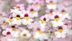 Closeup of nemesia flowers white and pink. Closeup of white and pink nemesia flowers in a flowerpot, selective focus Royalty Free Stock Photos