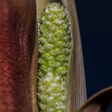 Closeup Of New Green Seeds Within Stalk Of Yucca Plant Royalty Free Stock Photos