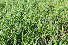 Closeup new sprouts of wheat Royalty Free Stock Image