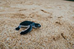 Closeup of a newborn baby sea turtle on a beach of Sri Lanka royalty free stock photography