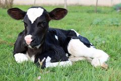 Close up of a very cute newborn calf laying in the field royalty free stock image