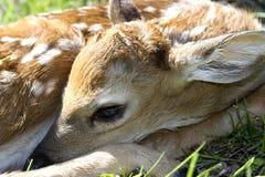 Closeup of a Newborn Whitetail Deer Fawn. Closeup of a Whitetail Deer newborn fawn in the wilderness stock image