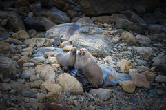 Closeup nice couple sea lion on the beach in south new zealand. New Zealand sea lions are one of the rarest seal species in the world. Sea lions are found mainly Stock Photos
