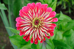Closeup of nice flower (Zinnia) Stock Photo