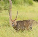Closeup of a nice male Waterbuck. Scientific name: Kobus ellipsiprymnus, or `Kuru` in Swaheli in the Serengeti National park, Tanzania Stock Image