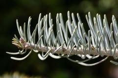 Closeup of noble fir needles. Closeup macro image of noble fir needles Stock Image