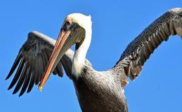 A North American adult brown pelican drying its wing feathers against a bright blue sky royalty free stock image
