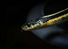 Closeup of North American common Garter snake Royalty Free Stock Photos