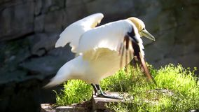 Closeup of a northern gannet on a rock flapping its wings dry, common coastal bird from Europe