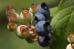 Ripening highbush blueberries in a New Hampshire bog. Closeup of northern highbush blueberries, Vaccinium corymbosum, in the Philbrick-Cricenti Bog in New stock images