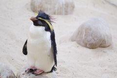 Closeup of Northern Rockhopper penguin in Cape Town stock photography