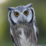 Closeup of a Northern White-faced Owl royalty free stock images
