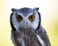 Closeup of a Northern White-faced Owl royalty free stock photo