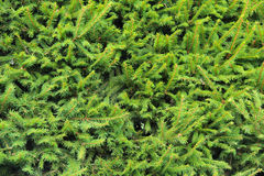 Closeup Norway spruce Stock Photos