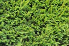 Closeup Norway spruce Stock Photos