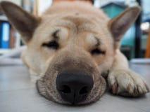 Closeup nose with sleeping dog Stock Photography