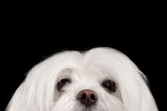 Closeup Nosey White Maltese Dog Looking in Camera isolated Black. Closeup Nosey White Maltese Dog Looking in Camera isolated on Black background Royalty Free Stock Photography