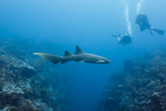 Closeup of nurse shark swimming above coral reef in Shark Alley Belize with divers nearby. Stock Photos