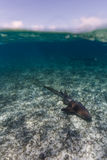 Closeup of nurse shark swimming on Hol Chan Marine reserve Stock Photography