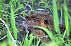 Closeup of nutria Royalty Free Stock Photo