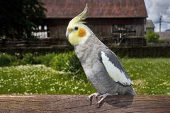 Closeup of a nymphicus hollandicus cockatiel Stock Images