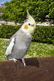 Closeup of a nymphicus hollandicus cockatiel Stock Photo