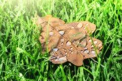 Closeup of oak leaf on green grass Stock Photos