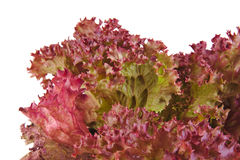 Closeup of an Oak Leaf lettuce isolated on a white Royalty Free Stock Image