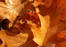 Closeup on oak leaves. Nice warm color Royalty Free Stock Photo