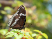 Closeup oakleaf butterfly Royalty Free Stock Photography