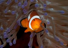 Closeup of an ocellaris clownfish Aphiprion ocellaris swimming among venomous tentacles royalty free stock photography