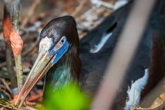 Closeup och detaljerat skott av den härliga och färgrika florida fågeln arkivfoton