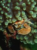 Closeup och makroskott av den Procelain krabban i undervattens- världsdykning i Sabah, Borneo royaltyfri bild
