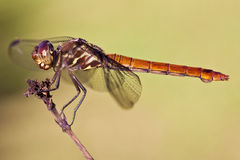 Closeup  of a odonata insect isolated background Royalty Free Stock Image