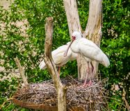 Free Closeup Of A African Spoonbill Bird Couple Standing In Their Nest During Bird Breeding Season, Tropical Wading Bird From Africa Royalty Free Stock Images - 150925129