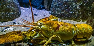 Free Closeup Of A American Lobster, Tropical Crustacean Specie From The Atlantic Ocean Stock Photos - 155679973