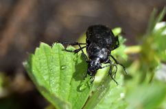 Free Closeup Of A Bronze Carabid After Rain. Stock Photos - 126353553
