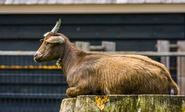 Free Closeup Of A Brown West African Dwarf Goat Sitting On A Tree Stump, Popular Wild Goat Specie, Farm Animals Royalty Free Stock Photos - 156297948